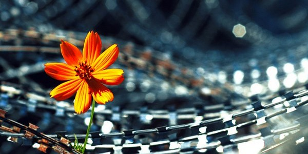Flower in barbed wire